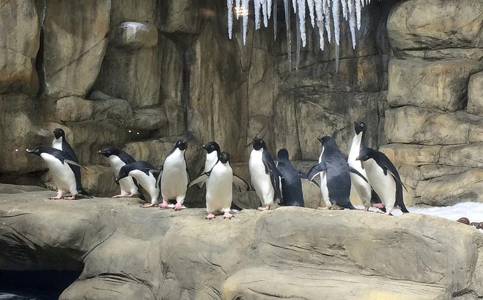 Pingüinos en la Antártida del Zoológico Guadalajara