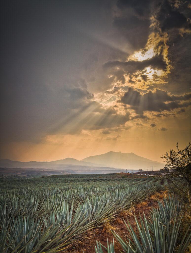 Campo de Agave en Tequila, Jalisco, México.
